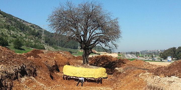 העבודות באתר. ביצוע הפעולות להעתקת עצים עתיקים בנתיב מסילת העמק (סוכנות ג'יני)